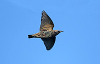 European Starling (Winter)
