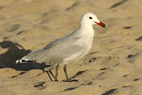 Audouins Gull (Adult Summer)
