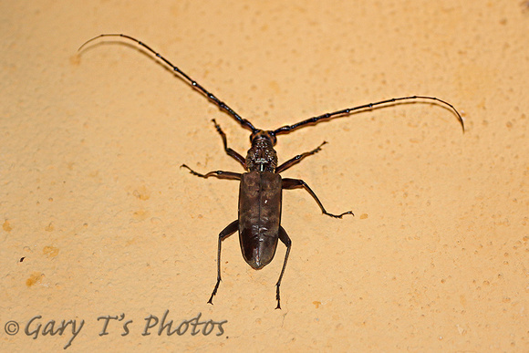 Beetle Species-B (Longhorn Beetle)
