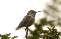 Annas Hummingbird (1st Winter Male)