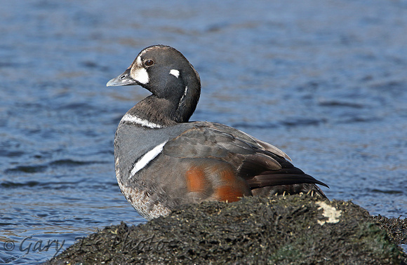 Harlequin Duck (1st Winter Drake)