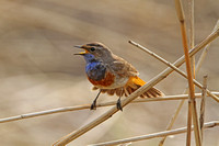 Bluethroat (White-spotted cyanecula Male)