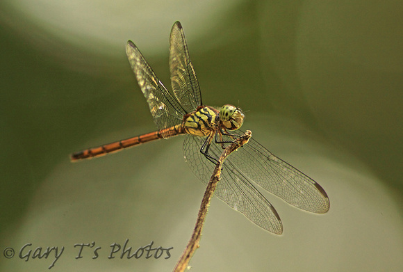 Dragonfly-Pruinosed Bloodtail (Lathrecista asiatica asiatica-Female)