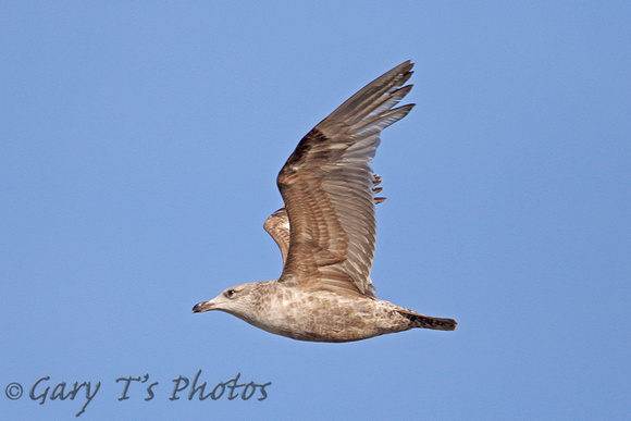 American Herring Gull (1st Summer)