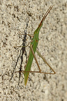 Majorca - Stick Insect (Green)