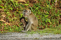 Long-tailed Macaque (Adult & Juvenile)