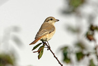 Isabelline Shrike (1st Winter)