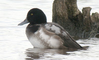 Greater Scaup (1st Winter Drake)