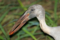 Asian Openbill Stork (Adult Winter)