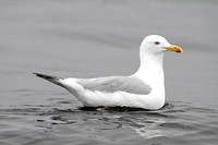 American Herring Gull (Summer)