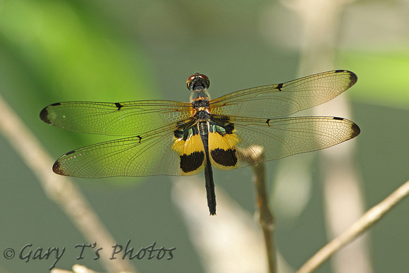 Dragonfly Species-A