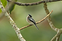 Bar-winged Flycatcher-shrike (Male)