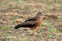 Black Kite (Adult)