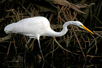 American Great White Egret