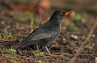 Blackbird (1st Winter Male)