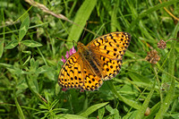 Dark Green Fritillary (Male)