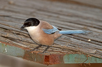 Azure-winged Magpie (Adult)