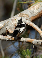 Collared Flycatcher (Male)