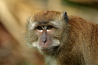 Long-tailed Macaque (Adult)