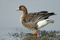 Wildfowl-Geese