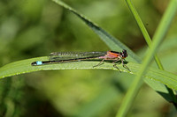 Blue-tailed Damselfly (Female-Rufescens form)