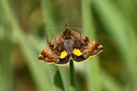 Small Yellow Underwing