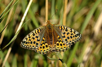 Dark Green Fritillary (Female)