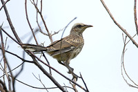 Chalk-browed Mockingbird (Juvenile)