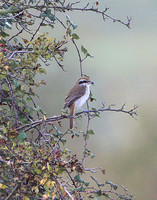Brown Shrike (1st Winter)
