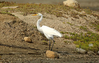 American Great White Egret (Adult Summer)