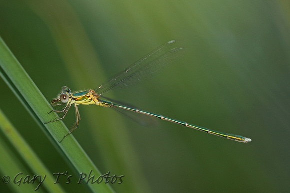 Dragonfly Species-C