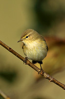 Common Chiffchaff (Adult)